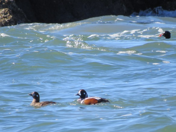 Harlequin Ducks & Scoter