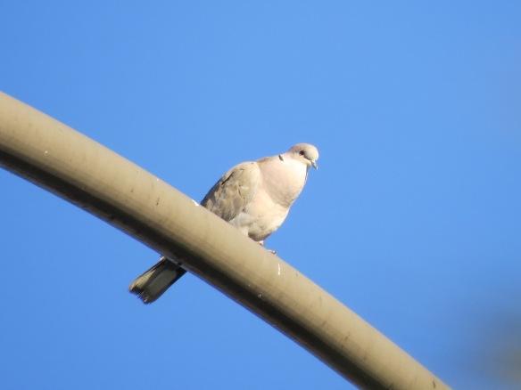 """Eurasian-collared Dove...""""koo-KOO-kook"""""""