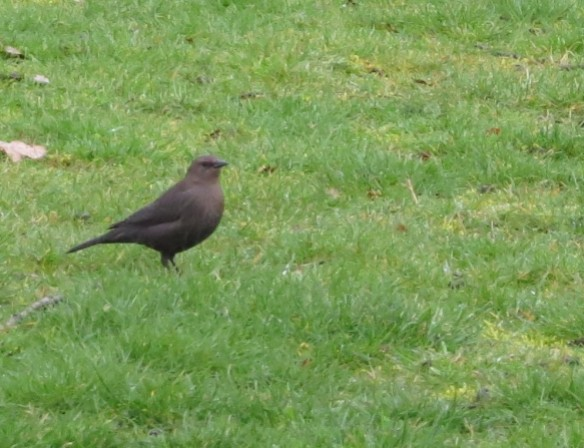 Female Brewer's Blackbird; unmarked, drab gray-brown, dark eye.