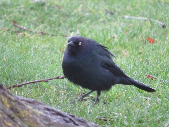 fluffed up Brewer's Blackbird (Beer Bird?)- new bird! male, distinctive yellow eye, long thin black bill