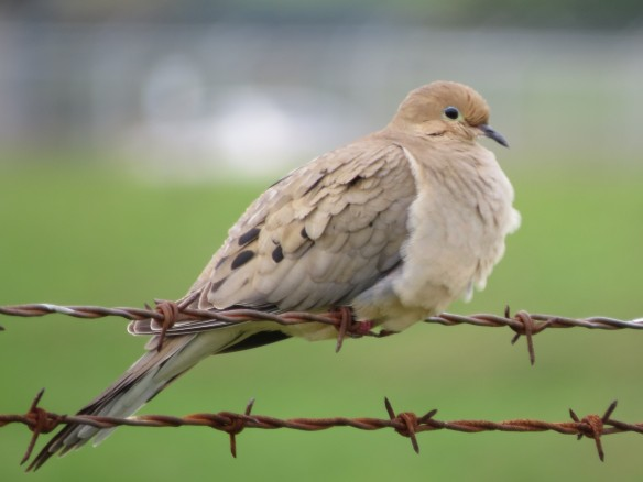 Soft bird on a sharp fence - Mourning Dove