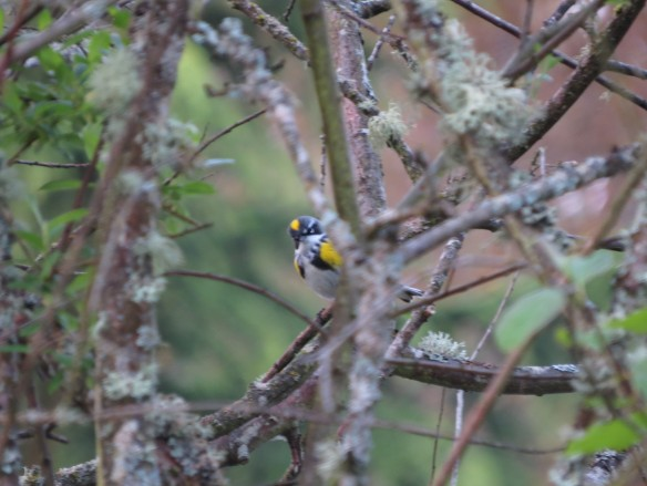 Yellow-rumped Warbler Myrtle