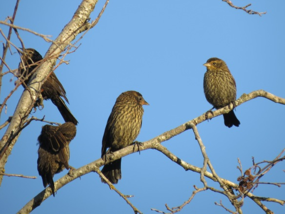 Red-winged Blackbird (juveniles)
