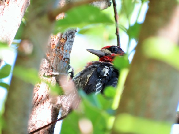 Red-naped Sapsucker?