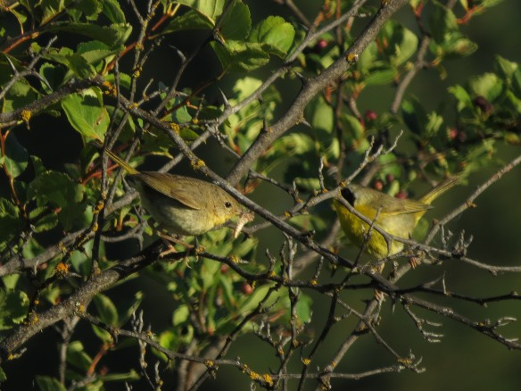 Common Yellowthroat pair