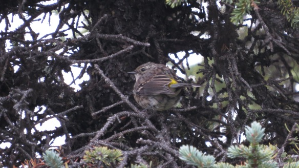 Yellow-rumped Warbler (They're everywhere!)