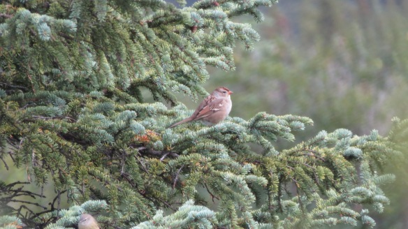 """White-crowned Sparrow (not so juvenile, """"first winter"""")"""