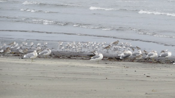 Sanderlings, plovers, gulls