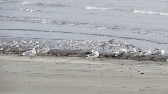 Sanderlings, plovers, gulls