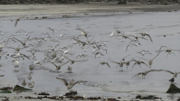 Sanderlings, plovers