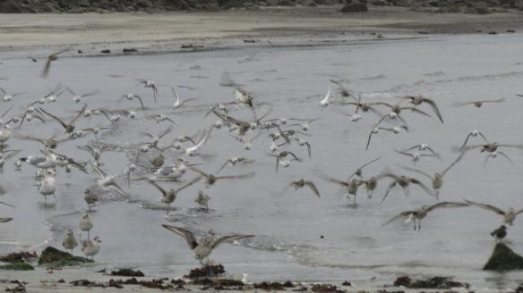 Sanderlings, plovers