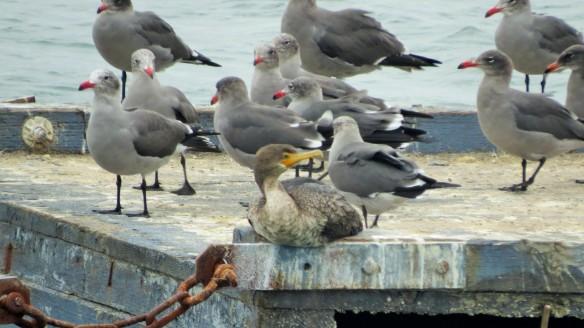 Double-crested Cormorant, Heermann's Gulls